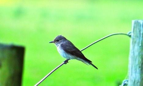 The intoxicated world of the spotted flycatcher | Environmental Matters | Scoop.it