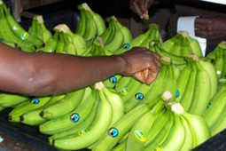 Fairtrade bananas spread in continental Europe | MakeFruitFair | Fair and Sustainable Trade | Scoop.it