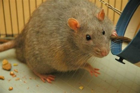 Gut microbes send message to the brain that sparks obesity in rodents | Radiant Health | Scoop.it