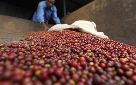 Climate Change And Food Security: Coffee Farmers In Tanzania Feel Strain Of Rising Temperatures, Unpredictable Rainfall | Climate change challenges | Scoop.it