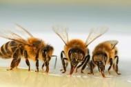 Alle origini dei cambiamenti nei ruoli sociali delle api - Le Scienze | Complexity & Self-Organizing Systems | Scoop.it