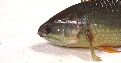 Southeast Asian walking fish lives up to its name | Stretching our comfort zone | Scoop.it