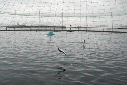 Sur l'île norvégienne d'Hitra, des saumons d'élevage moins nocifs pour l'océan - Magazine GoodPlanet Info | Biodiversité | Scoop.it