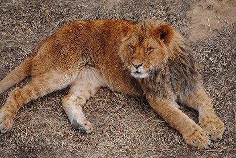 Carnivore Loss Presents Global Conservation Crisis?   ScoopCapture   Scoop.it