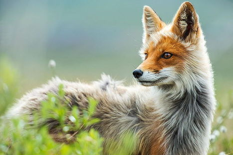 Russian Miner Spends His Breaks Taking Photos Of Foxes In The Arctic Circle   Bored Panda   Slavic, East European, and Eurasian Studies Blogroll   Scoop.it