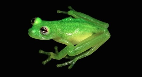 Newly Discovered Species Looks Exactly Like Kermit the Frog | Le It e Amo ✪ | Scoop.it