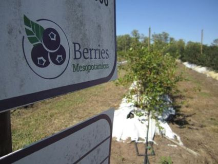 Berries Mesopotámico, the first Fairtrade-certified blueberry farm in Argentina! | Agricultural Biodiversity | Scoop.it