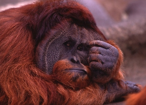 Great apes go through mid-life crisis | HealingAndTheMind | Scoop.it