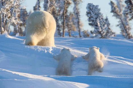 #Oil & #Gas Developments put #Russian #Arctic #wildlife at #risk !!! | Rescue our Ocean's & it's species from Man's Pollution! | Scoop.it
