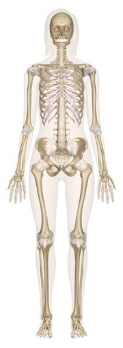 InnerBody.com | Your Interactive Guide to Human Anatomy | enseignement en primaire | Scoop.it