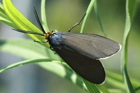 ctenuche - Photo de Papillon : Cténuche de Virginie - Ctenucha virginica - Virginia Ctenucha   Fauna Free Pics - Public Domain - Photos gratuites d'animaux   Scoop.it