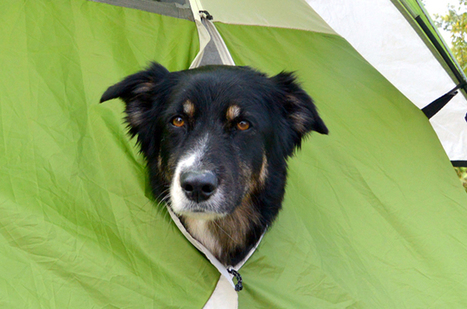 Pups With Tents: Rustic Tips To Remember When Camping With Dogs - PetGuide | Camping Tips and Ideas | Scoop.it