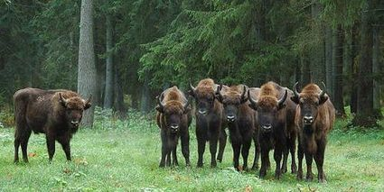 Pologne: ces arbres qu'on abat pour sauver la forêt de Bialowieza | Environnement et développement durable | Scoop.it