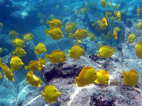 Hawaii at center of battle over aquarium fish | Sustain Our Earth | Scoop.it