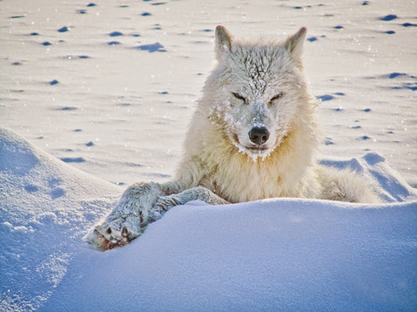 15 Photos of the Most Amazing Animal in Alaska - Arctic Wolves. | GarryRogers NatCon News | Scoop.it