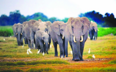 The trampling of African elephants… A matter of East, Central and North Africa versus SADC | Pachyderm Magazine | Scoop.it