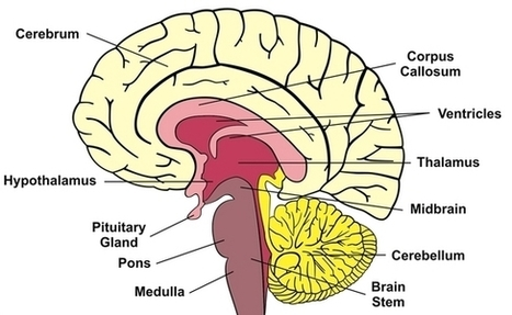 Human Brain: Facts, Anatomy & Mapping Project   Creative Human Communications   Scoop.it