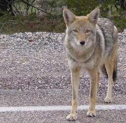 Etats-Unis - Respect pour le coyote ! - | Biodiversité | Scoop.it