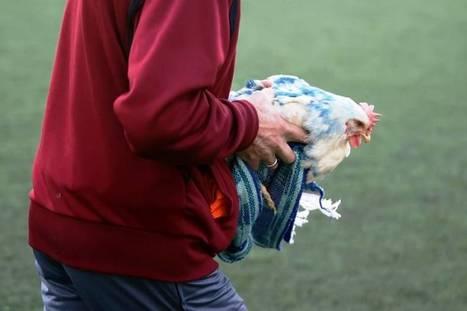 Προοδευτική–Ιωνικός: Πέταξαν κότες στο γήπεδο (videos)   Ηλεκτρονική εφημερίδα  - Γ' Εθνική [5ος όμιλος]   Scoop.it