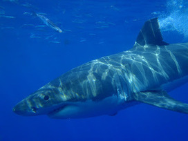 Great Whites: From the Eyes of our Divers! | Marine life | Scoop.it