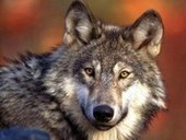 Alleged Wolf Poaching in Whitman County — Conservation Northwest | Animals - fact and fiction | Scoop.it