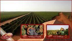 Le vin, un secteur en plein essor au Maroc - Oumma.com | Wine industry news | Scoop.it
