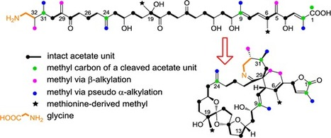 Biosynthetic Studies of 13-Desmethylspirolide C Produced by Alexandrium ostenfeldii (= A. peruvianum): Rationalization of the Biosynthetic Pathway Following Incorporation of 13C-Labeled Methionine ... | Natural Products Chemistry Breaking News | Scoop.it