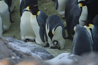 Mireille au pays des #manchots : Des nouvelles de la manchotière - #Antarctique #TAAF | Arctique et Antarctique | Scoop.it