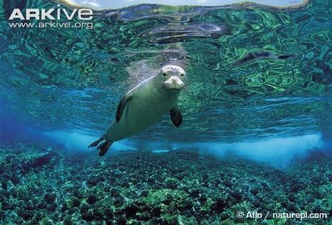 ARKive blog Vote for your favourite unloved species – Hawaiian monk seal -   Oceans and Wildlife   Scoop.it