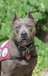 "Pit Bull Named Year's Top ""American Hero Dog"" 