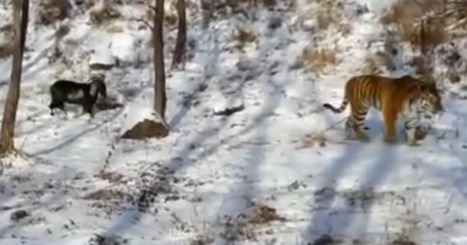 Fearless Goat Chases Tiger, Then Befriends Him | Xposed | Scoop.it