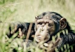 Fundació Mona, conoce cómo viven los chimpancés | Actividades, Talleres | Girona | Comarca La Selva hibridbrainstorming | Scoop.it