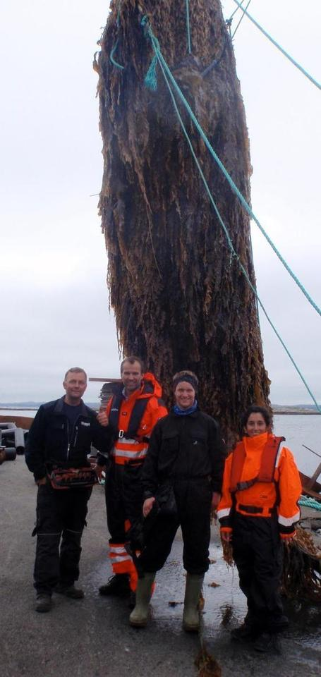 From the Sea to the Pump: Is Kelp a Viable Biofuel? | Sustain Our Earth | Scoop.it