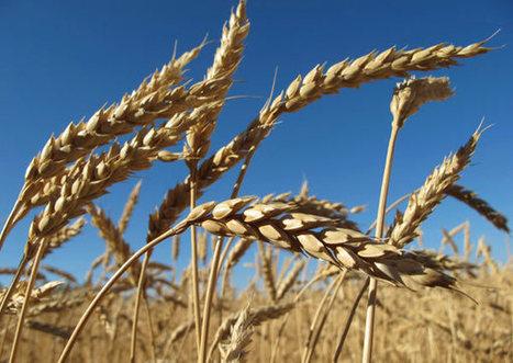 Le blé français indésirable en Egypte   Égypt-actus   Scoop.it