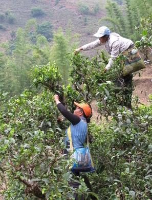 Arbres à thé du Yunnan | Le Blog de Terre des Thés | Actualités de Terre des Thés | Scoop.it