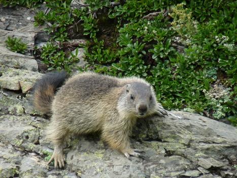 Les marmottes sont de sortie | PIAU-ENGALY Animation | Scoop.it