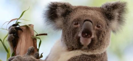 Une épidémie de chlamydia est train de décimer les koalas australiens   Biodiversité   Scoop.it