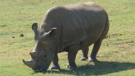 Using stem cells to save rhinos from extinction | Longevity science | Scoop.it