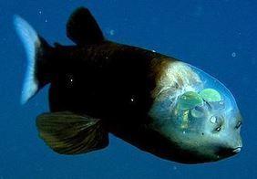 Trattoria la TAVERNA da Nadia e Felice Il pesce dalla testa trasparente | Trattoria la Taverna da Nadia e Felice news | Scoop.it