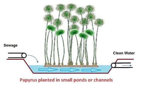 New resurgence of Papyrus plant poses potential ecological benefits | Égypt-actus | Scoop.it