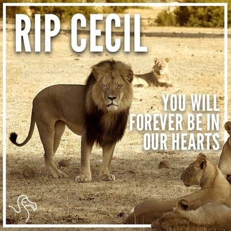 #CecilTheLion | Nature Animals humankind | Scoop.it