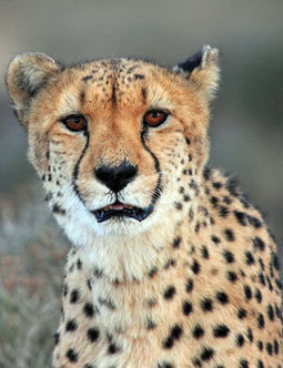 Pupil bitten by cheetah at game reserve | Human-Wildlife Conflict: Who Has the Right of Way? | Scoop.it