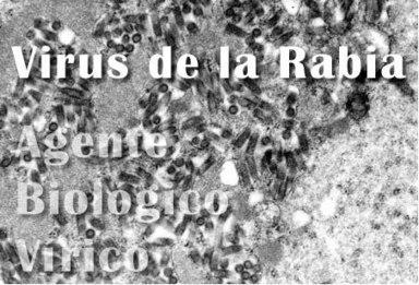 Virus de la rabia.  Lyssavirus | Rabia ( Lyssavirus ) | Scoop.it