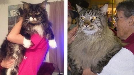 20 photos de chats vraiment énormes qui défient toute loi de la nature!   CaniCatNews-actualité   Scoop.it