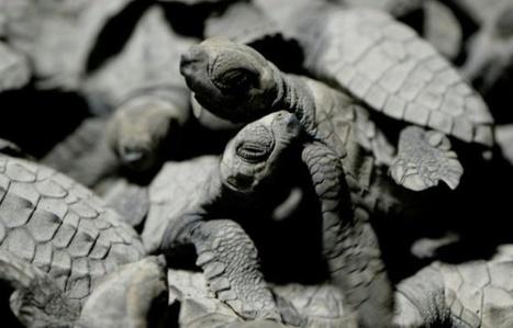 La ruée périlleuse vers la mer des tortues des Philippines   Zones humides - Ramsar - Océans   Scoop.it