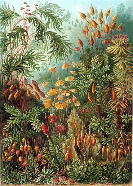 The beaty of Moss (muscinae) by Ernst Haeckel | Plant Biology Teaching Resources (Higher Education) | Scoop.it