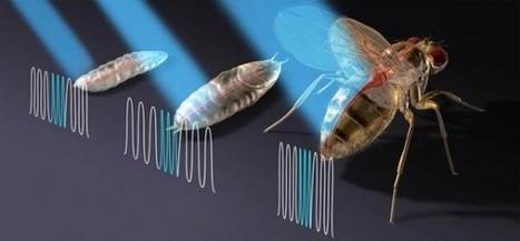 Des chercheurs contrôlent le battement de coeur d'une mouche… avec un laser | EntomoNews | Scoop.it