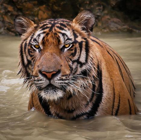 20+ Best Pictures Of Tigers | Unique Viral | Envirocivl | Scoop.it