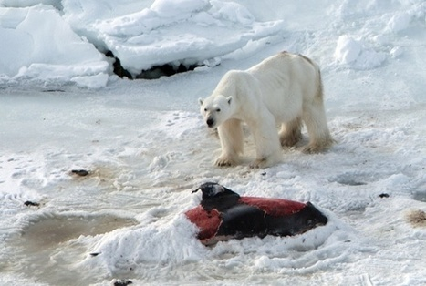 #Polarbears eat #dolphins as #Arctic warms #firstTaste? #expandingDiet | Rescue our Ocean's & it's species from Man's Pollution! | Scoop.it