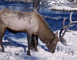 21 Elk Drown in Echo Canyon Reservoir | West Texas News | Texas Stream Team | Scoop.it